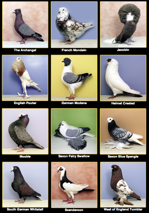 Source: http://www.pigeoncenter.org/pigeonbreeds.html