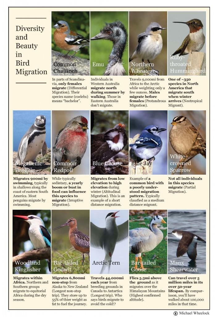 Bird Migration 1[1]