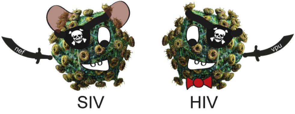 "HIVHIV and SIV: ""pirate-like"" viruses that use different protein ""knives"" to cut their way out of cells"