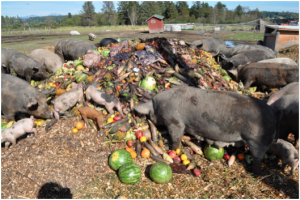Pigs will eat anything--so they are more likely to pick up Trichinella. http://ebeyfarm.blogspot.com/2010/09/pigs-eating-produce.html