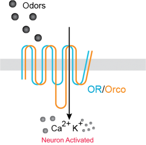 Responding to Odors: ORCO is required for ORs to reach the cell membrane and trasport ions in order to transmit the order response.