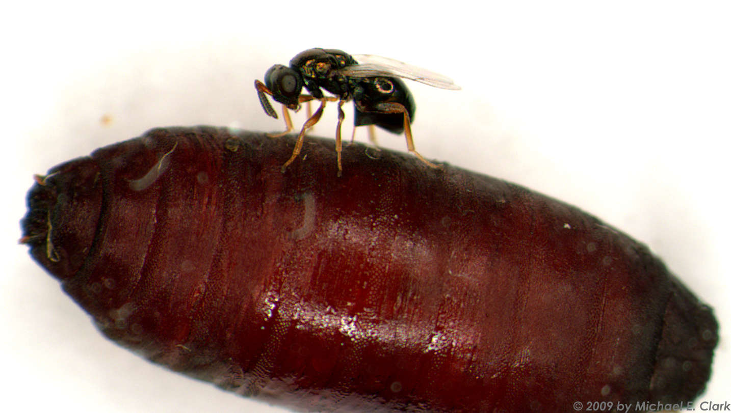 Tiny, parasitic wasps are really cool. (5 reasons why I spent two years watching wasp sex)