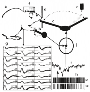 A water-restricted rat (a) operates a lever (b) to swing an external arm (c) from its resting state at (d) to a water dropper (e). Upon release of the lever, the arm returns to deliver the water droplet. An electrode array (f) in the rat's motor cortex records the activity of neurons (g). The firing rates of these neurons (h) are analyzed. When control of the swinging arm is switched from lever to neural control (j), the decoded neural activity (i) is used to drive the arm. From Chapin et al., 1999